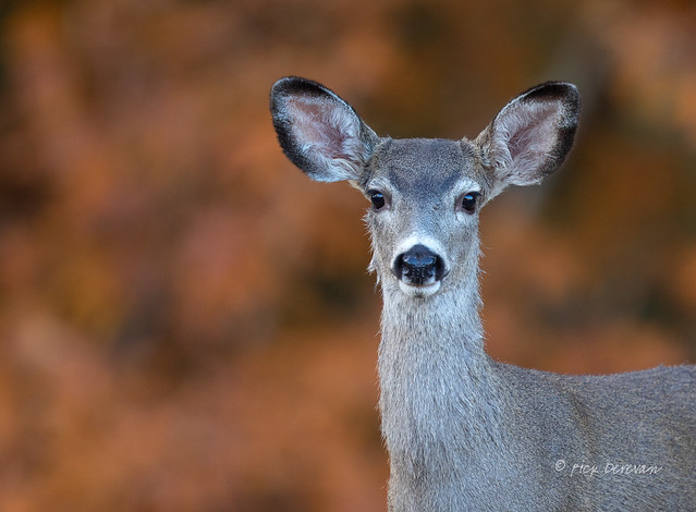 Deer Portrait, Canon EOS 5D MARK IV, Canon EF 400mm f/4 DO IS II USM