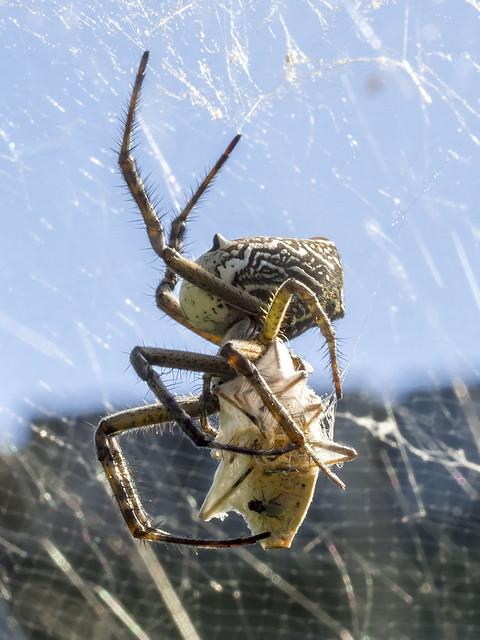 Contortionist Orb Spider :-)