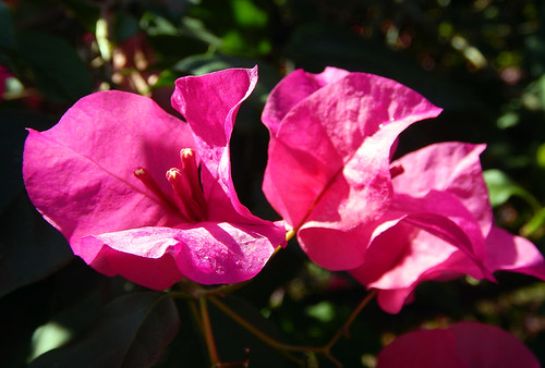 Bougainvillea, a Tropical Vine with Bright Pink Papery Flowers