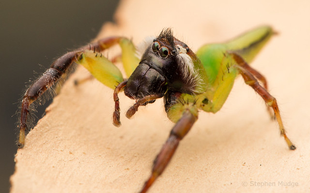 Male Green Jumping Spider