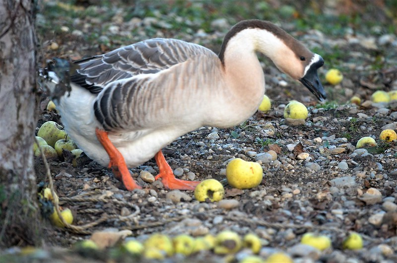 Geese 12.12 (7)