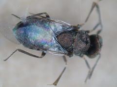 Blastothrix sericea
