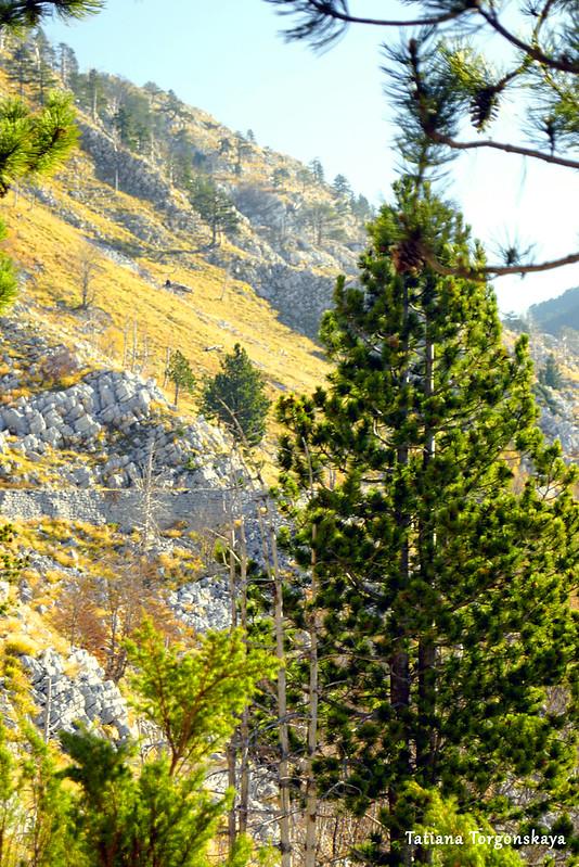 Сосны и горная дорога