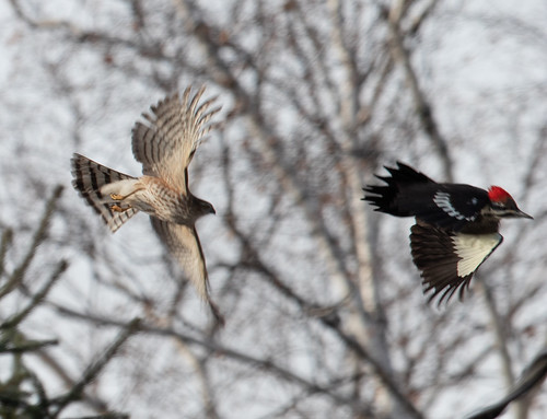Exit, pursued by a Sharp-shinned Hawk
