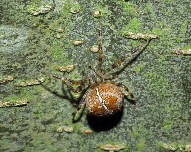 Garden Orb-web - Araneus diadematus
