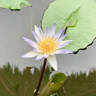 A single perfect lotus blossom at lunch in Ubud today