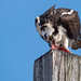 Osprey of the Jersey Shore | 2019 - 2