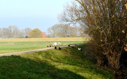 Ritje 23.11.18 (6) Westfriesedijk v.a. Kolkweg Aartswoud. Uitkijken voor de kippies.