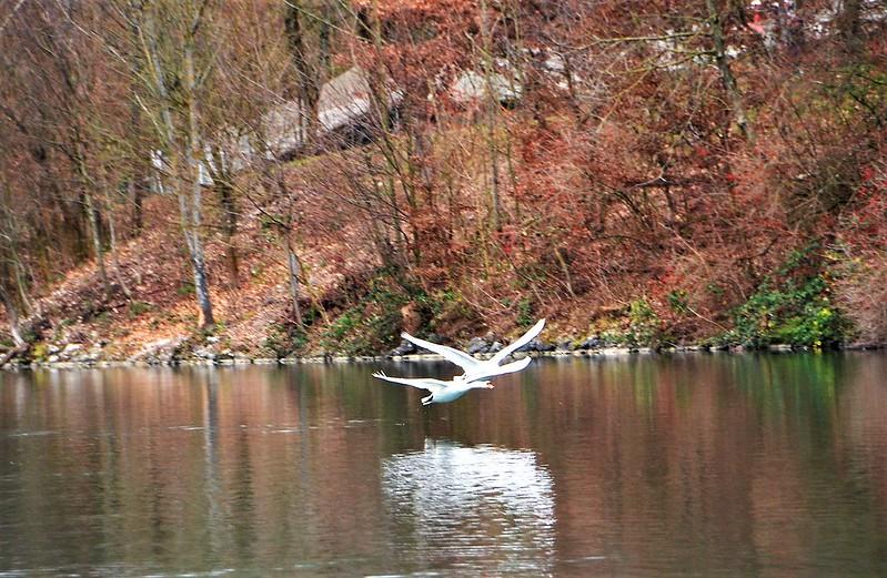 Swan 01.01 (4)