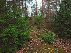 Komlokk, Prestegårdsskogen, Askim, Østfold, Norway
