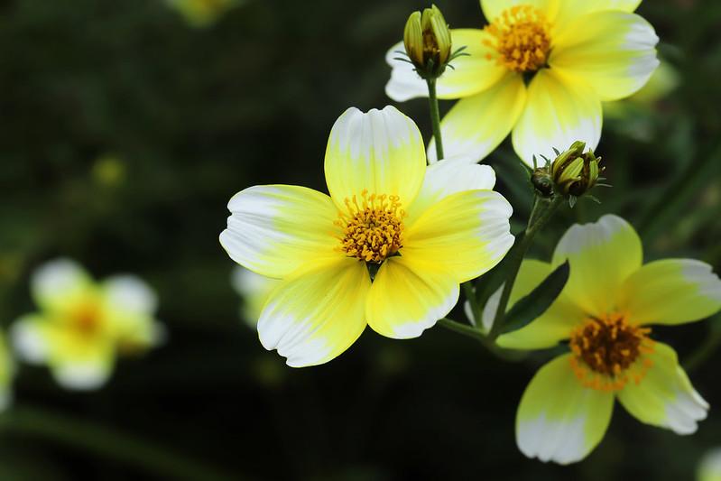 Bidens laevis 'Yellow Cupid'  ウインターコスモス