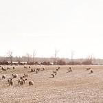 2012-01-30 um 13-18-10 - Pano Landschaft - Schafe - Tarbek - Schleswig-Holstein - Deutschland