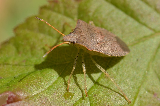 Stink Bug on a Wild Blackberry leaf
