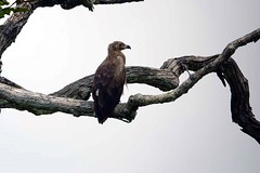Immature palmnut vulture at Langoue Bai in Ivindo National Park in Gabon