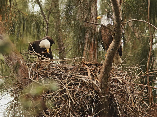 Bald Eagle 6246-20190125