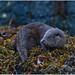 Eurasian Otter (Lutra lutra) by Antony Ward