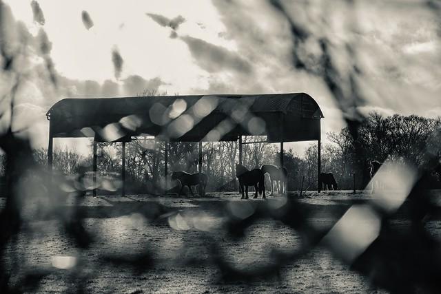 A field with Horses, Fujifilm X-T2, XF90mmF2 R LM WR