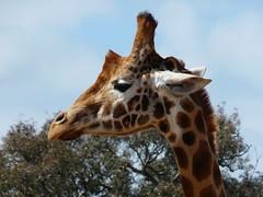 2008 10 22 Werribee Zoo 154 Giraffe