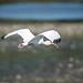 White Ibis por pringlecliff