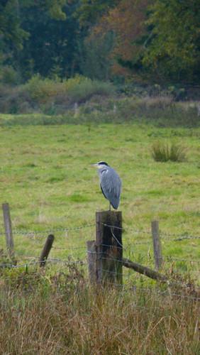 Heron on sturdy fence post