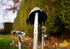Toadstool fungi Ivy Lane