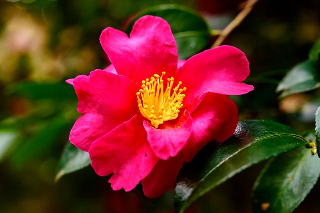 Camellia hiemalis : 寒椿(カンツバキ), Nikon D750, AF-S Micro Nikkor 60mm f/2.8G ED