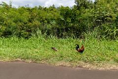Wild chickens in Kauai Hawaii