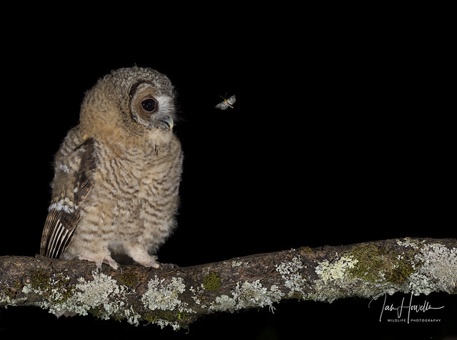 Tawny owlet and Magpie moth