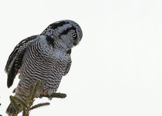 Northern Hawk Owl...#3