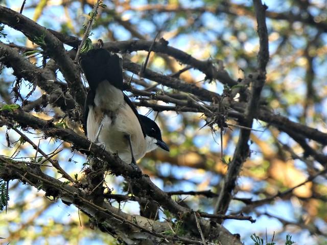 Photo:Tropical boubou - Laniarius major By Linda DV (away)