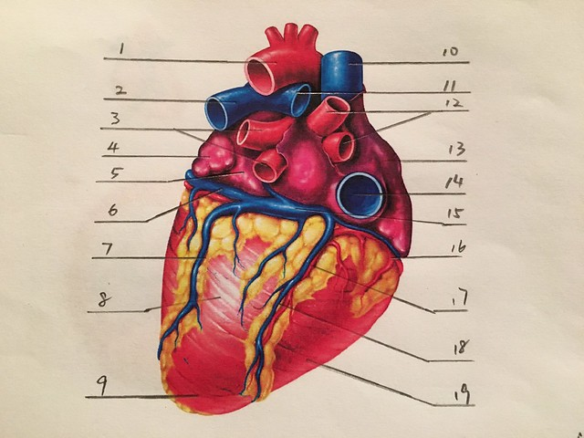 Heart Anatomy(2)-posterior view Quiz - By Seattle84