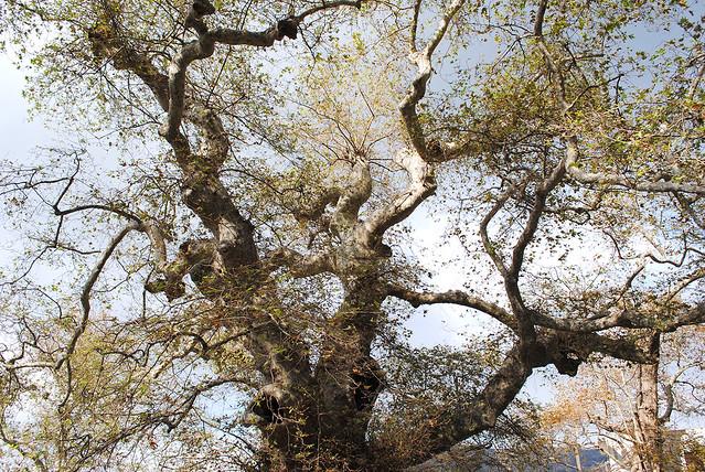Platanus tree in Krasi