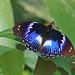 Blue Diadem - Hypolimnas salmacis by jaytee27