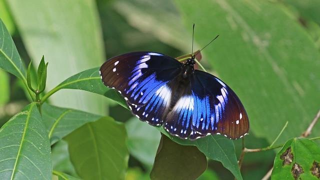 Blue Diadem - Hypolimnas salmacis