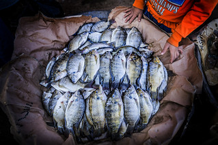 Nile tilapia displayed in a metal tray by a fish retailer in Aswan, Egypt_Sara Fouad