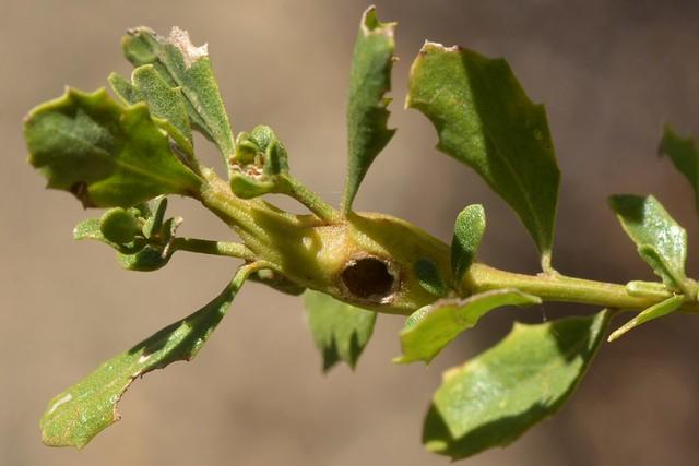 Galled stem of Coyote Bush (Baccharis pilularis)
