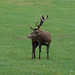 Red deer stag, Wollaton Park