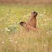 Steppe marmots (Marmota bobak)