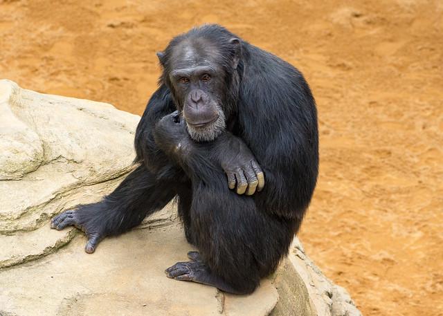 Chimpanzee, Bioparc, Fuengirola, Spain