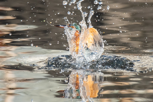 20181125-kingfisher-DSC_9966