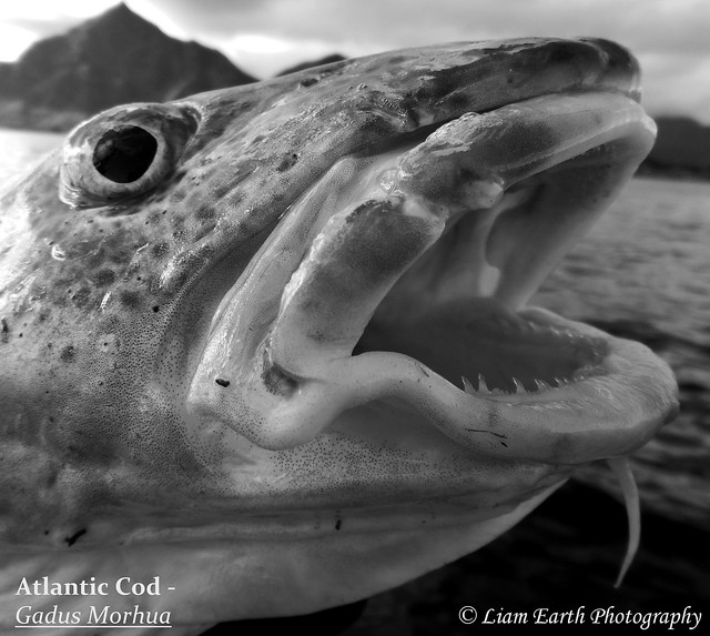 Atlantic Cod - Gadus, Nikon COOLPIX AW130