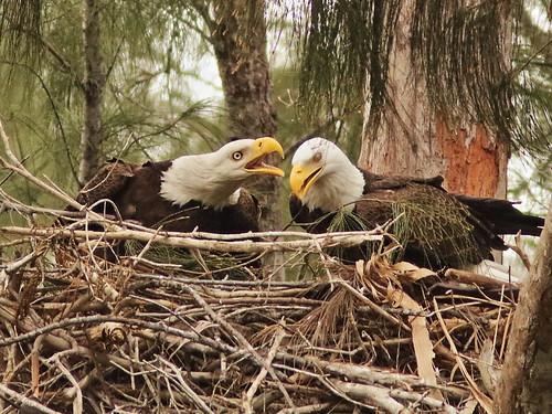 Bald Eagle 6147-20190125