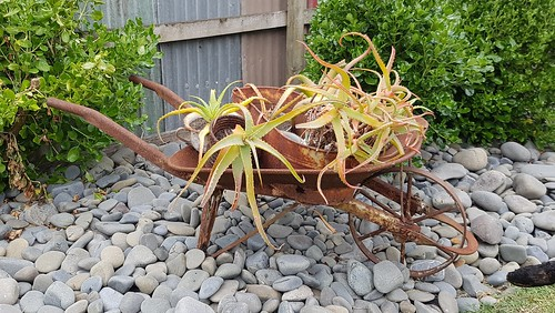 Aloe wheelbarrow