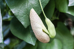 Gespensterpflanze (Aristolochia grandiflora)
