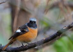Daurian redstart male (Phoenicurus auroreus, ジョウビタキ