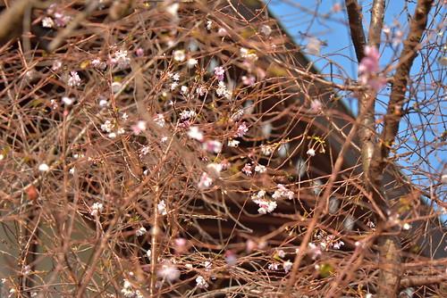 DSC_8711 十月桜
