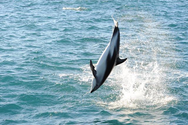 Dusky dolphin acrobatics 2, Nikon D700, AF VR Zoom-Nikkor 80-400mm f/4.5-5.6D ED