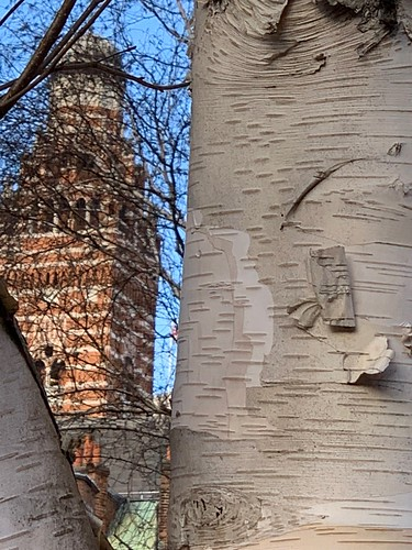 Still life with silver birch and Cathedral (Westminster)