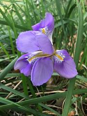 Iris de décembre - Photo of Corneilla-la-Rivière