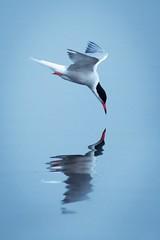 Tern Reflection